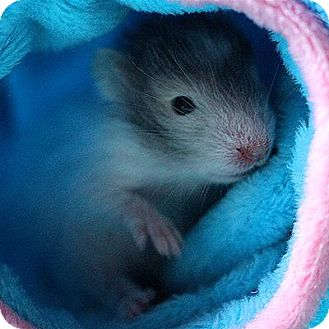 Hamster for adoption in St. Paul, Minnesota - Whatchamacalit