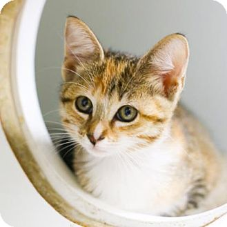 Domestic Shorthair Kitten for adoption in Austin, Texas - Gyro