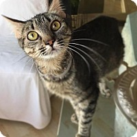 Bengal Cat for adoption in Yucca Valley, California - LUNA LYN
