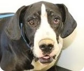 Great Dane Dog for adoption in Silver Spring, Maryland - Lady Guinevere
