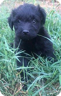 Labradoodle Mix Puppy for adoption in Birmingham, Alabama - Annie