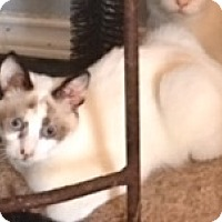 Snowshoe Kitten for adoption in Houston, Texas - Hannah
