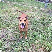 Adopt A Pet :: Sully - Odessa, FL