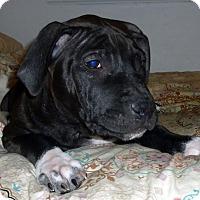 Adopt A Pet :: Steven-Pending! - Detroit, MI