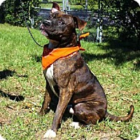 Pit Bull Terrier Mix Dog for adoption in Sanford, Florida - BURKLEY