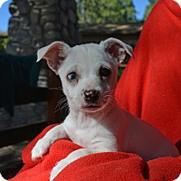 Jack Russell Terrier/Chihuahua Mix Puppy for adoption in Mountain Center, California - JoJo