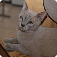 Burmese Cat for adoption in Glendale, Arizona - Buzzie