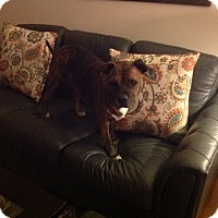 Adopt A Pet :: Tygress (COURTESY POST) - Baltimore, MD
