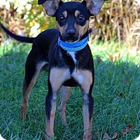 Adopt A Pet :: Dean - Waldorf, MD
