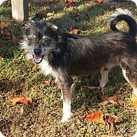 Adopt A Pet :: SCRUFFY - Cranston, RI