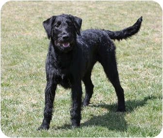Airedale Terrier Lab Mix
