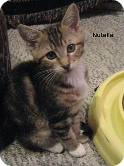 Domestic Shorthair Kitten for adoption in Portland, Oregon - Nutella