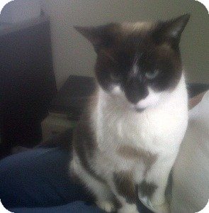 Snowshoe Cat for adoption in Fairborn, Ohio - Nala