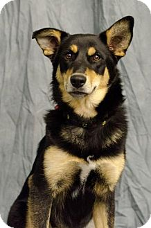Australian Kelpie/Australian Shepherd Mix Puppy for adoption in Saskatoon, Saskatchewan - Shell