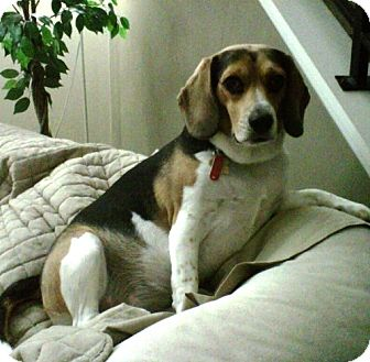 Beagle Dog for adoption in Novi, Michigan - Patches