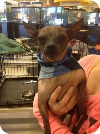 Chinese Crested Mix Dog for adoption in Tucson, Arizona - Killer