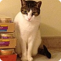 Domestic Shorthair Cat for adoption in Miami, Florida - Pico