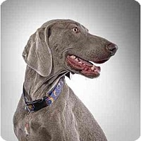Adopt A Pet :: Marley - Attica, NY