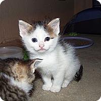 Adopt A Pet :: Bell - Roseville, MI