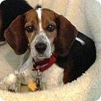 Adopt A Pet :: Rosa - Novi, MI