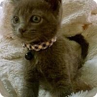 Adopt A Pet :: Hagrid - Reston, VA