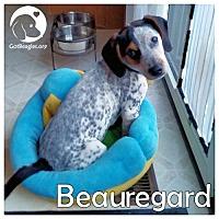 Adopt A Pet :: Beauregard - Novi, MI