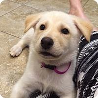 Adopt A Pet :: Pearl - Austin, TX