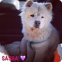 Adopt A Pet :: SASHA - Dix Hills, NY