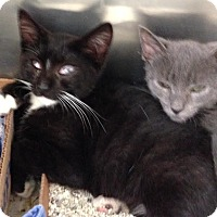 Adopt A Pet :: Licorice - East Brunswick, NJ