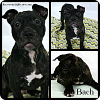 Adopt A Pet :: Bach - Sylvania, OH