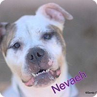 Adopt A Pet :: Nevaeh - Manchester, NH