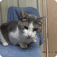 Domestic Shorthair Cat for adoption in Florence, Texas - Martok