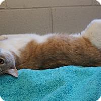 Adopt A Pet :: Nacho - Mt Vernon, NY
