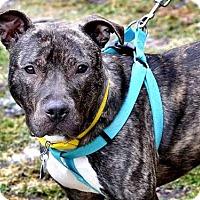 Adopt A Pet :: DENIM - Pittsburgh, PA