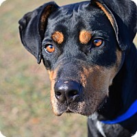 Adopt A Pet :: Ranger - Dillsburg, PA
