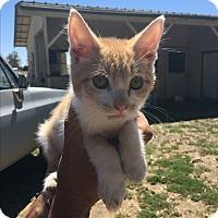 Domestic Mediumhair Kitten for adoption in Lodi, California - Chadwick