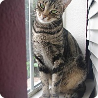 Domestic Shorthair Cat for adoption in Roanoke, Texas - Ariel
