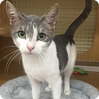 Domestic Shorthair Cat for adoption in Mount Pleasant, South Carolina - Pudding