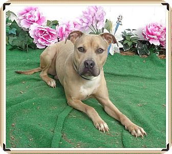 American Pit Bull Terrier/Labrador Retriever Mix Dog for adoption in Marietta, Georgia - BISCUIT - Adopted @ off-site