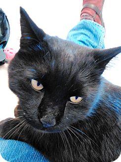Domestic Shorthair Cat for adoption in Cloquet, Minnesota - Fonzarelli