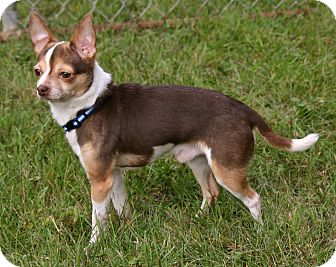 Chihuahua Mix Dog for adoption in Waldorf, Maryland - Chico