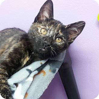 Domestic Shorthair Kitten for adoption in Shinnston, West Virginia - Barbara