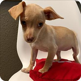 Chihuahua Mix Puppy for adoption in Riverside, California - Courtney