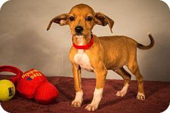 Labrador Retriever/Hound (Unknown Type) Mix Puppy for adoption in Berkeley Heights, New Jersey - Wally