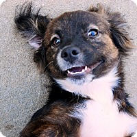 Adopt A Pet :: Major - New Canaan, CT