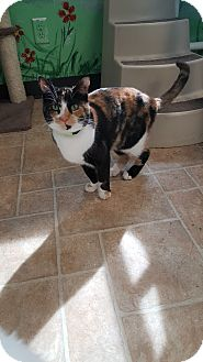 Calico Cat for adoption in Cody, Wyoming - Peanut
