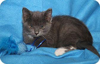 Domestic Shorthair Kitten for adoption in EASTPOINTE, Michigan - STANLEY--adoption pending