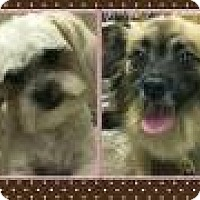 Pekingese/Terrier (Unknown Type, Small) Mix Dog for adoption in Riverside, California - LADY