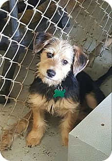 Terrier (Unknown Type, Small) Mix Dog for adoption in La Verne, California - Lucky