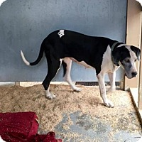 Great Dane Dog for adoption in Freeport, Florida - Lindy Dane